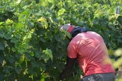 DO Costers del Segre Vinya els Vilars verema 2018 Costers del Segre - 024
